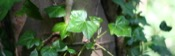 Hedera Helix picture