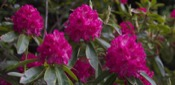 Rhododendron picture